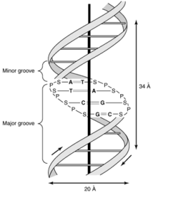 Secondary-structure-of-DNA